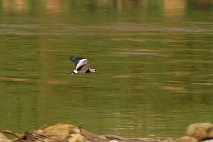 DSC_5344 - Fauna encontrada no rio das Velhas próximo a foz do Arrudas