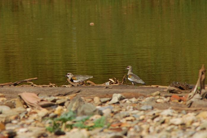 DSC_5349 - Fauna encontrada no rio das Velhas próximo a foz do Arrudas